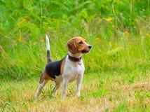 Ung kvinnlig beaglehund med pinnen Fotografering för Bildbyråer