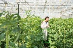 Ung kvinnlig forskare som forskar på tomatskördar i växthus Arkivfoto