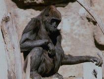 Ung lågland Bio Gorilla Portrait - parkera zoo, NM Arkivfoton