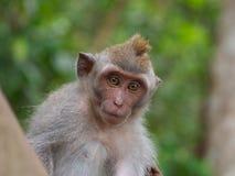 Ung lång tailed macaque Arkivfoto