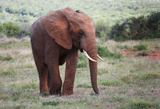 Ung lös afrikansk tjurelefant Royaltyfri Bild
