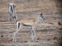 Ung lös impala Arkivfoto