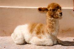 Ung lama på Purmamarca på Argentina Royaltyfri Fotografi