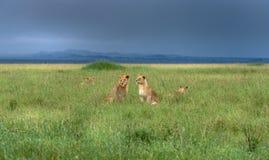Ung lejonstolthet, Serengeti, Tanzania, Afrika Arkivfoton
