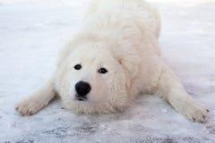 Ung leka Sheepdogstående för vit arkivbild