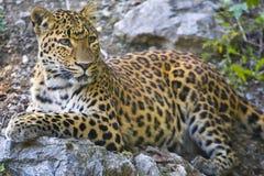 Ung leopardstående royaltyfri fotografi
