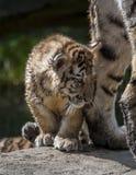 Ung lion Arkivbilder