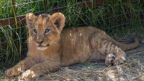 Ung lion Lionet Behandla som ett barn lejonet vilar Arkivfoto