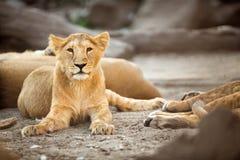 Ung lioness Royaltyfri Bild