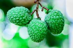 Ung litchiplommonfrukt på trädet Royaltyfri Foto