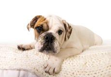 Ung liten gröngölinghund för fransk bulldogg som hemma som ligger på säng ser nyfiken på kameran Arkivbild