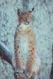 Ung lodjur på en vit bakgrund Arkivfoto