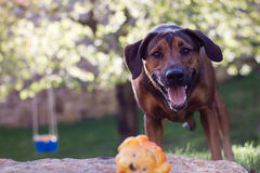 Ung lycklig hund som väntar för att spela med en leksak Lyckliga bruntögon suddighet bakgrund Royaltyfri Foto