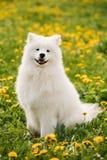 Ung lycklig le vit Samoyedhund eller Bjelkier, Smiley, Sammy royaltyfri fotografi