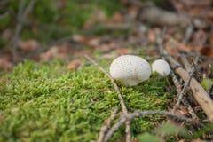Ung Lycoperdonperlatum som är fullvuxen upp inom en skog Royaltyfri Fotografi