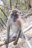 Ung macaqueapa Arkivfoton