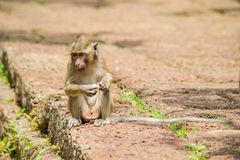 Ung macaqueapa som sitter och äter frukt arkivfoton