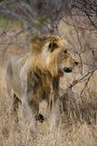 Ung male lion Royaltyfri Foto