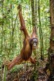Ung man av den Bornean orangutanget på trädet i en naturlig livsmiljö Wurmbii för pygmaeus för Bornean orangutangPongo i den lösa Royaltyfri Bild