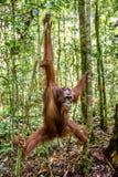 Ung man av den Bornean orangutanget på trädet i en naturlig livsmiljö Wurmbii för pygmaeus för Bornean orangutangPongo i den lösa Fotografering för Bildbyråer