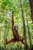 Ung man av den Bornean orangutanget på trädet i en naturlig livsmiljö Wurmbii för pygmaeus för Bornean orangutangPongo i den lösa Royaltyfria Bilder