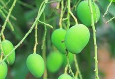 Ung mango på träd Royaltyfria Foton