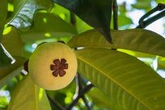 Ung mangosteen på träd arkivbilder