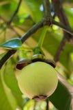 Ung mangosteen på träd royaltyfria foton