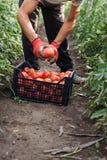 Ung manlig bonde som upp väljer nya tomater på kolonin Arkivbilder