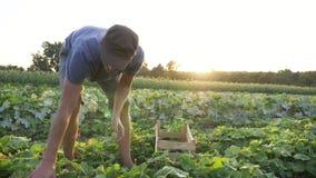 Ung manlig bondeplockninggurka på den organiska ecolantgården lager videofilmer