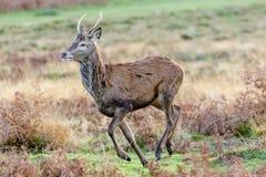 Ung manlig för Cervuselaphus för röda hjortar bock eller pricket Royaltyfri Fotografi