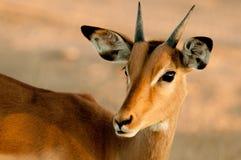 Ung manlig impala (Aepycerosmelampusen) Royaltyfri Fotografi