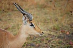 Ung manlig impala (Aepycerosmelampusen) Royaltyfria Bilder
