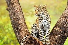 Ung manlig leopard i träd. Royaltyfri Bild