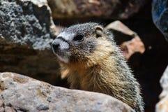 Ung Marmot Royaltyfri Fotografi