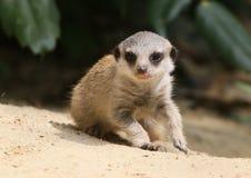 Ung Meerkat borta Walkabout Arkivbilder