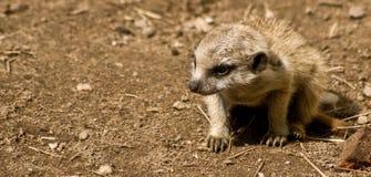 Ung meerkat som upptäcker världen Arkivfoton