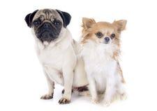 Ung mops och chihuahua royaltyfri fotografi