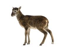 Ung mouflon - Ovisorientalisorientalis Arkivbilder