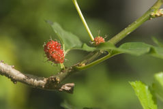Ung mullbärsträd Royaltyfri Foto