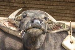 Ung Murrah buffalio royaltyfri fotografi