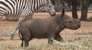 Ung noshörning arkivbilder