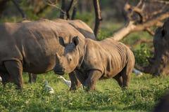 Ung noshörning Arkivfoton