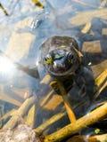 Ung nyfiken våt groda med att svälla ut ögon som kikar ut ur vattnet arkivfoton