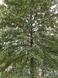 Ung oak Royaltyfria Foton
