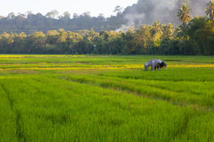 Ung och Ripening rice i en rice sätter in Arkivbild