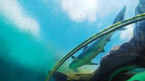 Ung och sund haj från Bahamas arkivfoton
