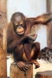Ung Orangutan Arkivbilder