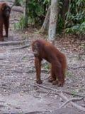 Ung orangutang som är borttappad i tanke på vandringsled för en vägren (Indonesien) Arkivfoton