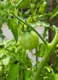 Ung organisk grön tomathängning på en filial Arkivfoton